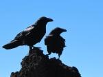 birds-crow-black-47815
