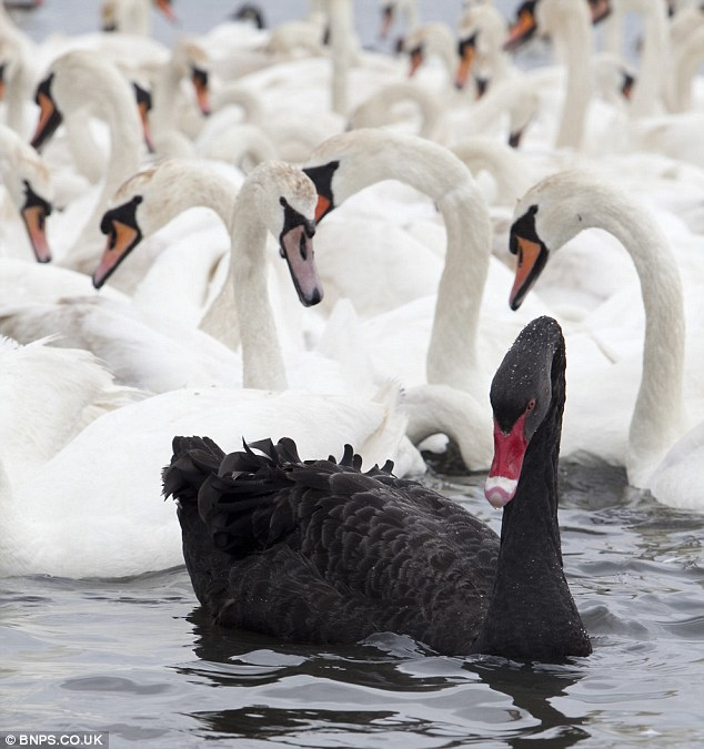 black white swan